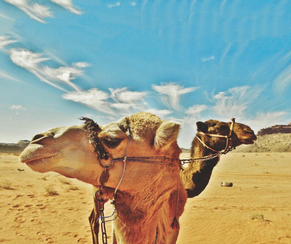 Kamele in Jordanien.
