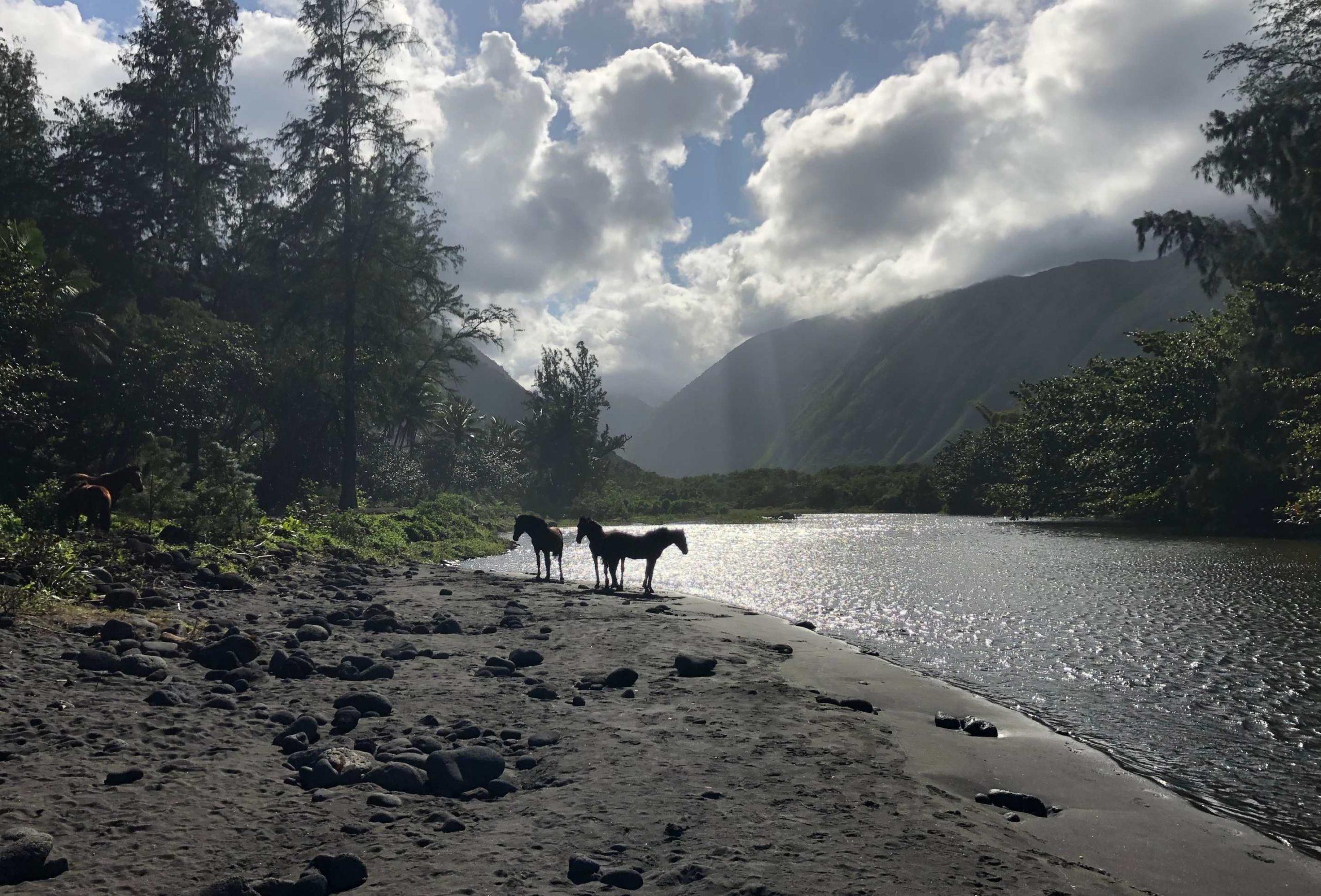 Pferde auf Hawaii