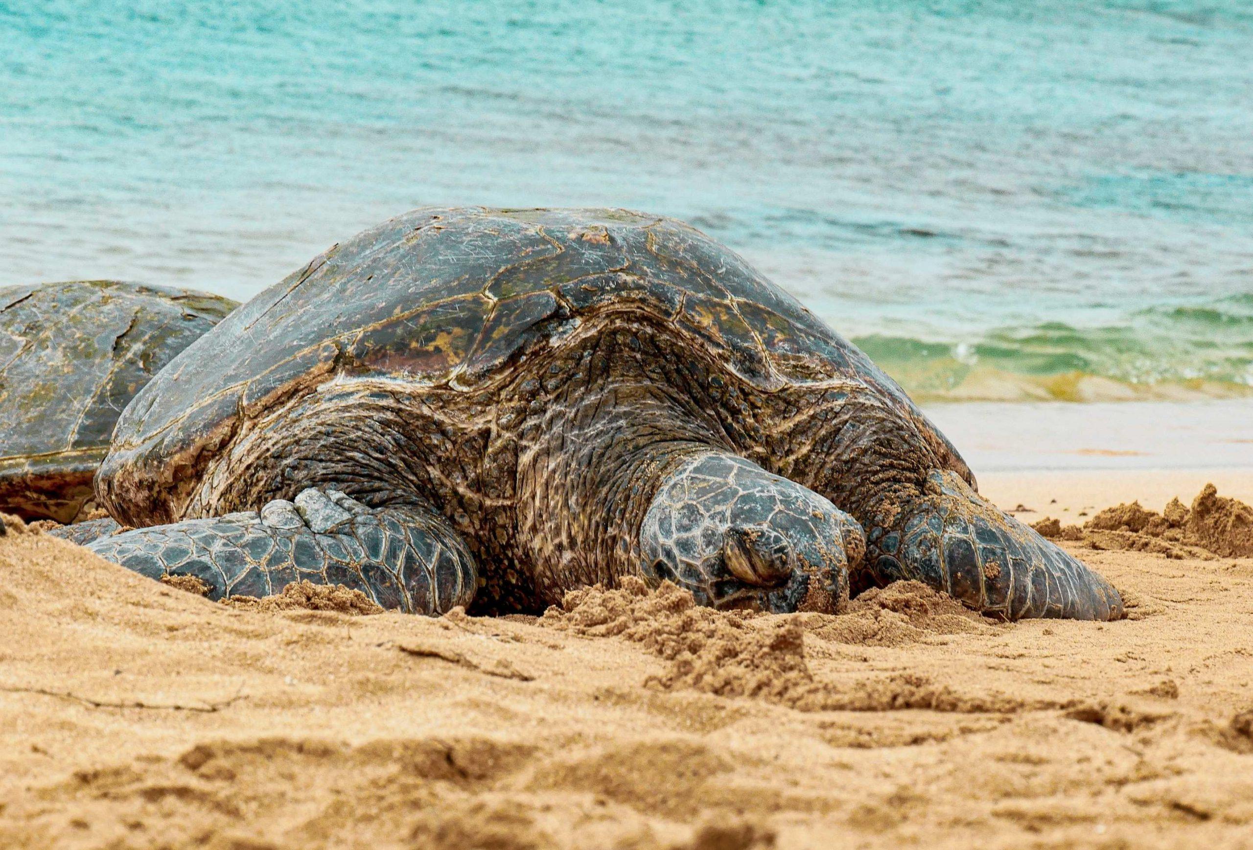 Schildkröte am Strand von Hawaii