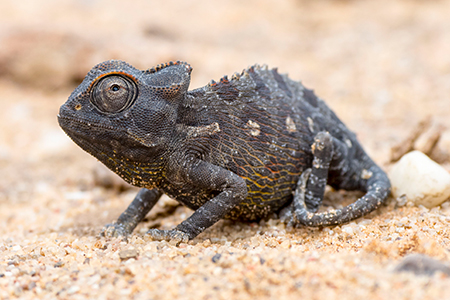 Chamäleon in Namibia