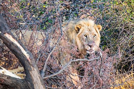 Löwe im Etosha-Nationalpark