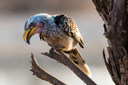 Südlicher Gelbschnabeltoko in Namibia