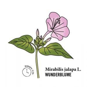 Illustration Wunderblume