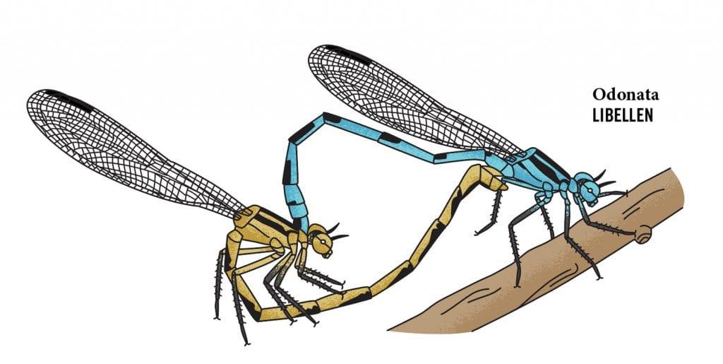 Illustration Libellen bei der Paarung