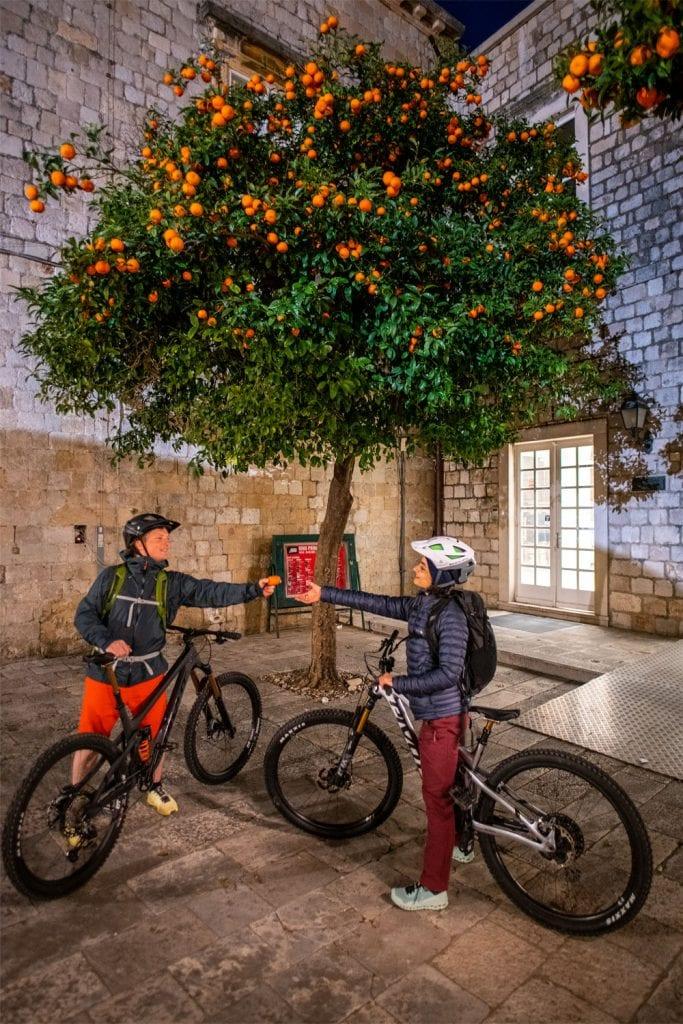 Frische Orangen direkt vom Baum im Süden Kroatiens.
