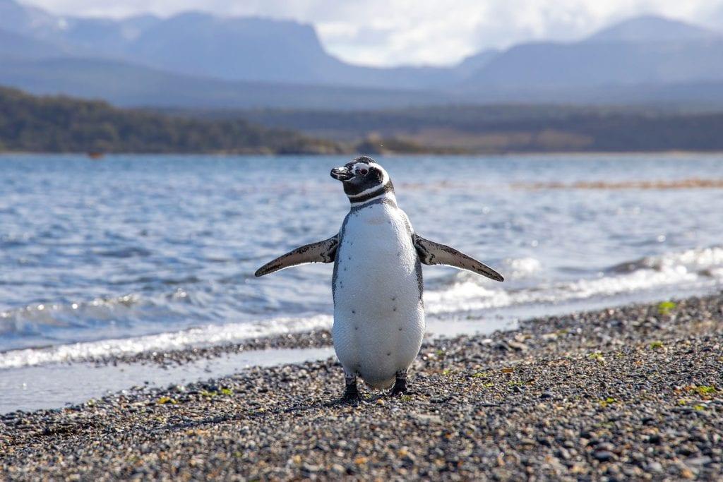 Planer Pagatonien Pinguin