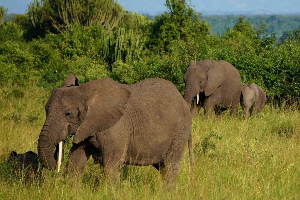 Uganda-Rottmann-Elefanten-1
