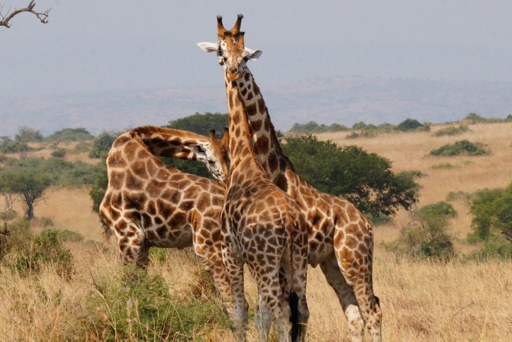 Uganda-Rottmann-Giraffen-1