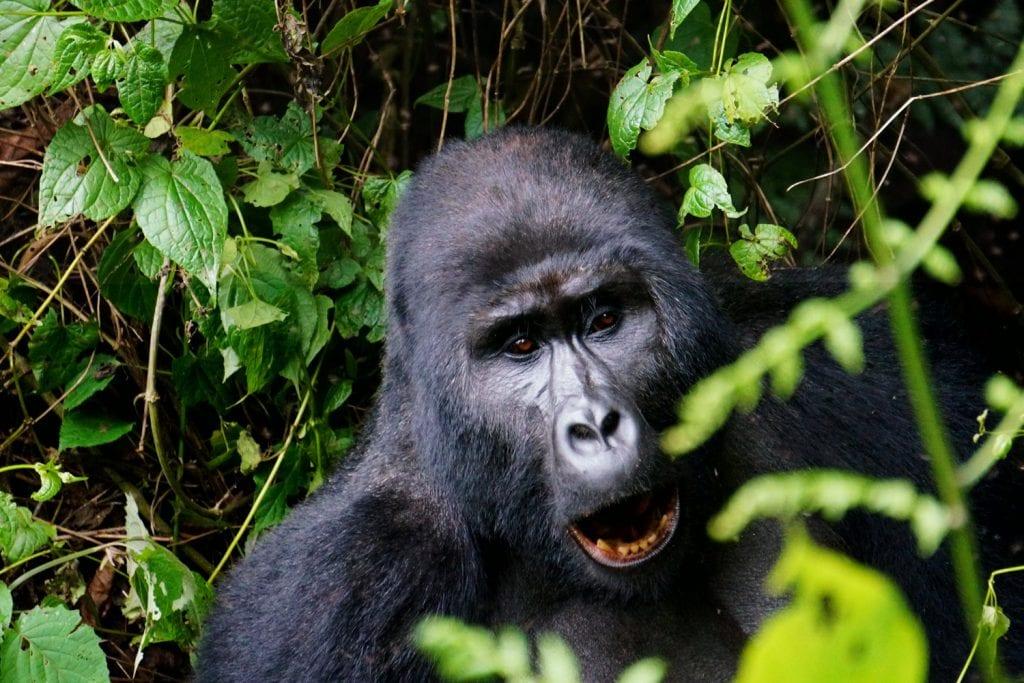 Uganda-Rottmann-Gorilla-1