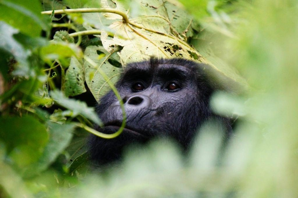 Uganda-Rottmann-Gorilla-2