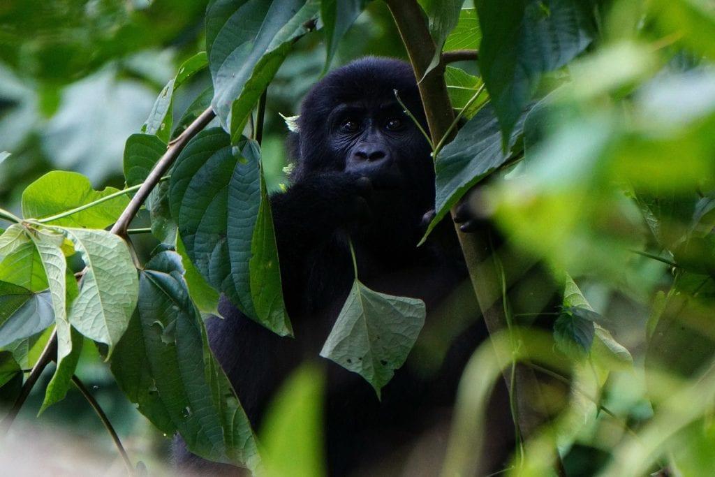 Uganda-Rottmann-Gorilla-3