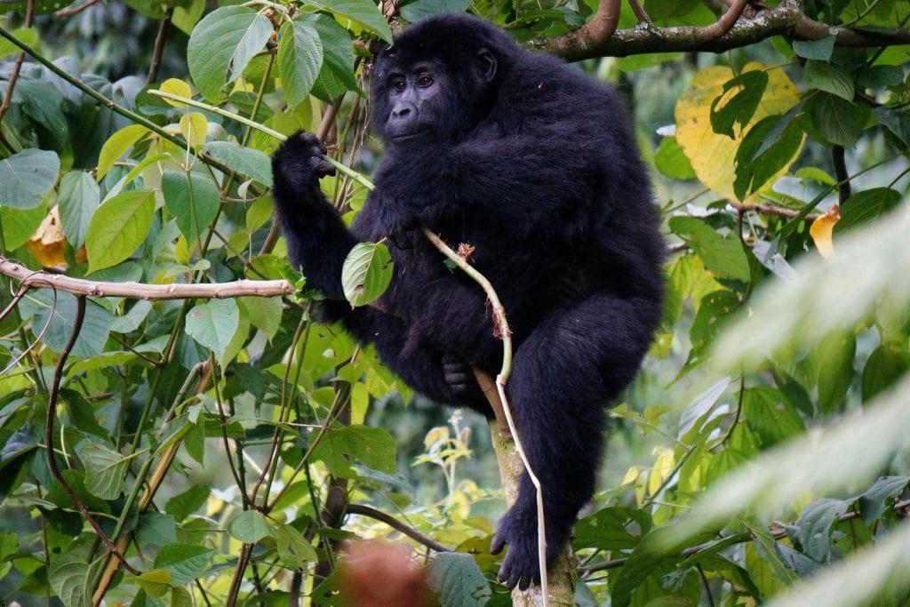 Uganda-Rottmann-Gorilla-4