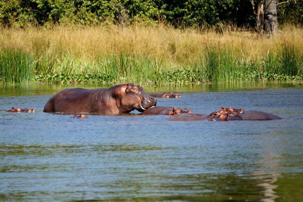 Uganda-Rottmann-Nilpferd-1