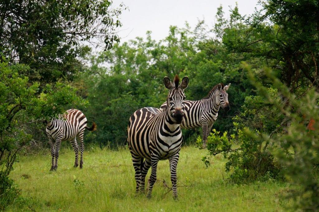Uganda-Rottmann-Zebras-1