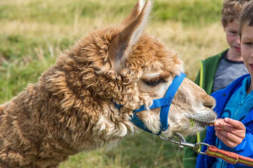 Lama frisst aus Kinderhand.