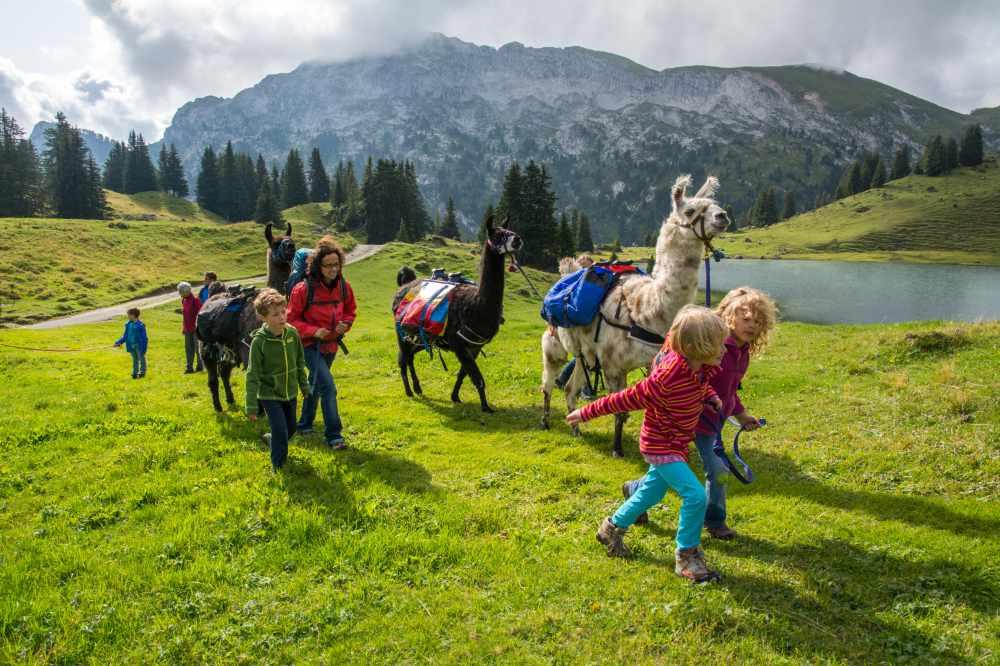 Das Gelände ist einfach. Meist geht es über Almwiesen, so dass jeder einmal die Lamas führen darf.