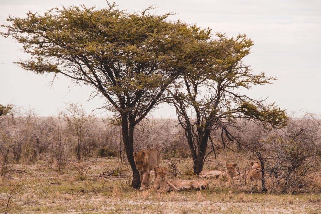 Löwenfamilie unter einem Baum